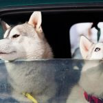 Vier tips om je hond mee te nemen in de auto